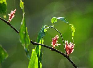 Cây xuân hoa (Cây Hoàn ngọc, Cây con khỉ)