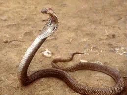Rắn hổ mang – Cách sử dụng, tác dụng chữa bệnh của rắn hổ mang