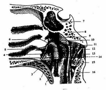 Liên quan của vòm họng với các thần kinh