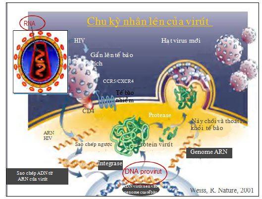 Chu kỳ nhân lên của HIV