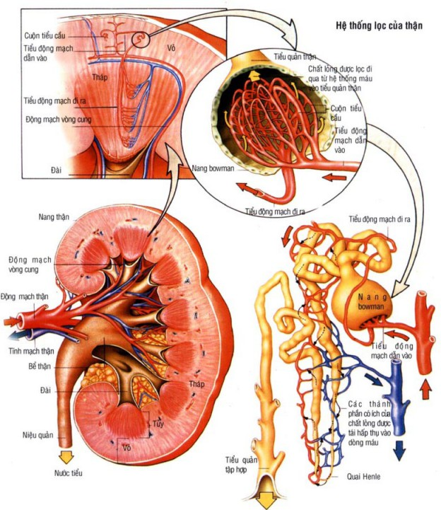 Suy thận mạn và điều trị suy thận mạn bằng đông y