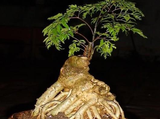 Tác dụng chữa bệnh của cây Đinh lăng