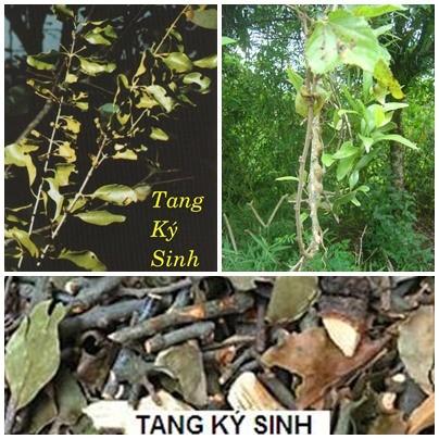 Vị thuốc Tang ký sinh trong điều trị thoái hóa khớp