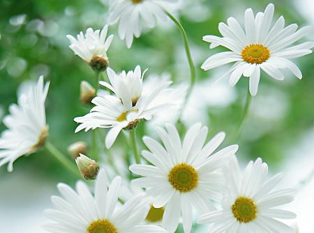 Lá hoa Cúc trắng giã nát với muối đắp vào mụn nhọt