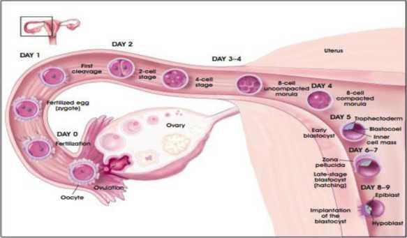 Sự thụ tinh và quá trình di chuyển của trứng thụ tinh vào buồng tử cung