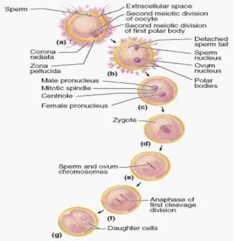 Các giai đoạn thụ tinh
