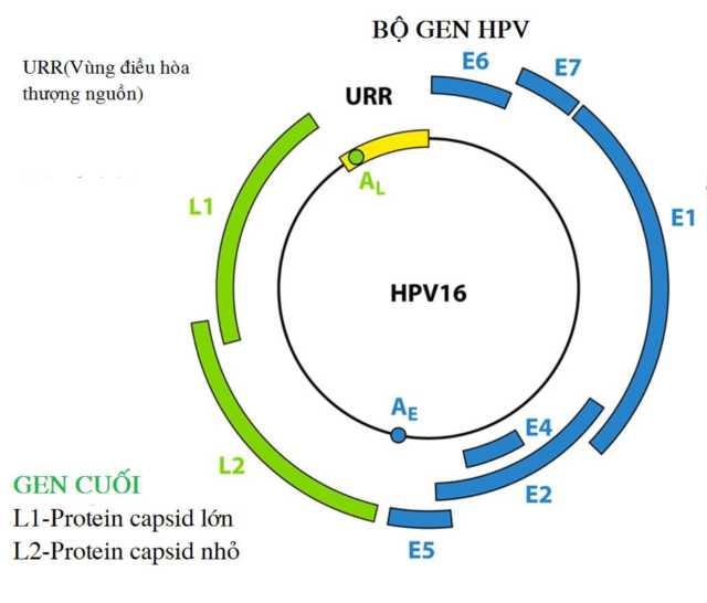 Bộ gen của HPV