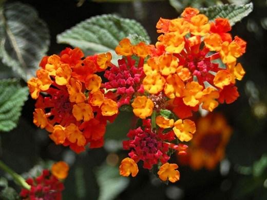 Hoa cây bông trang thủy