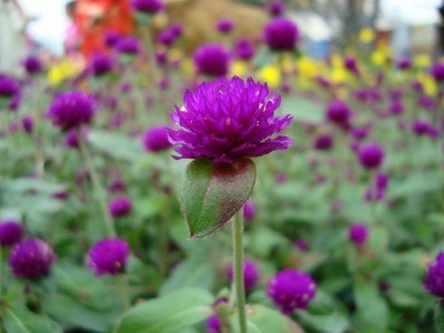 Tác dụng chữa bệnh của Hoa cúc bách nhật