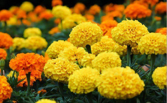 Cây cúc vạn thọ và tác dụng chữa bệnh Hoa cúc vạn thọ