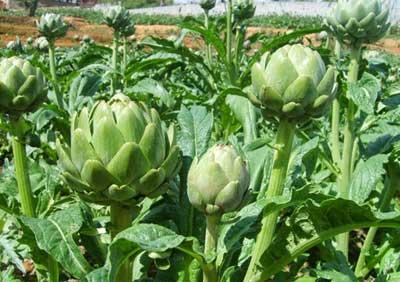 Cây thuốc Atisô – Tác dụng chữa bệnh Hoa Atisô