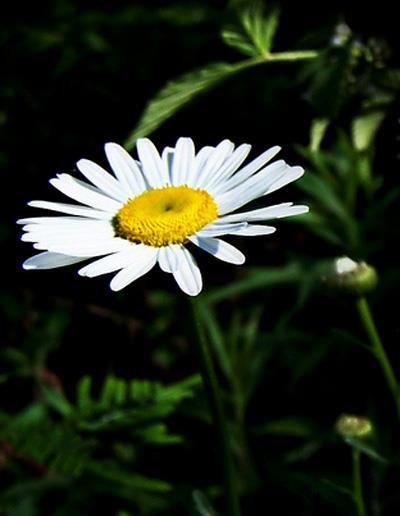 hoa cúc trắng có vị ngọt, hơi đắng, tính hơi hàn