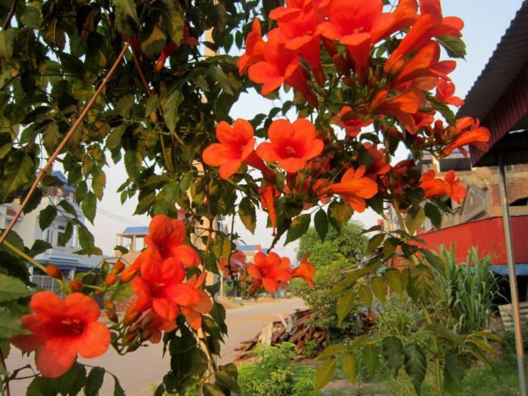 Hoa đăng tiêu tác dụng hành huyết, làm tan máu ứ, mất máu, trừ phong, điều hòa kinh nguyệt