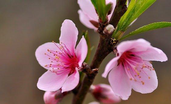 Hoa đào tác dụng lợi tiểu, chữa phù thũng, táo bón, làm đẹp da