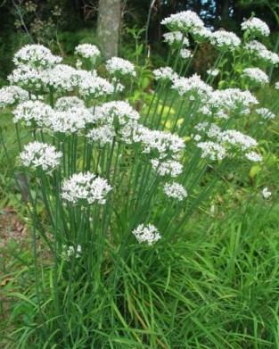 hoa hẹ có vị chua, cay, thơm, tính ấm, có tác dụng tốt cho khí