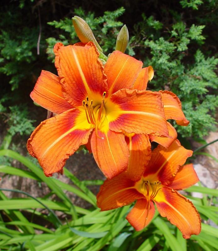 Hoa Hiên và tác dụng chữa bệnh đáng quý