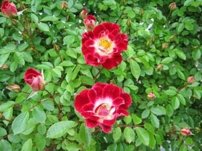 Hoa hồng có tác dụng hoạt huyết, điều kinh, tiêu viêm