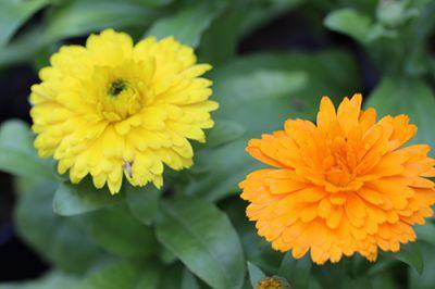 Hoa su si Tác dụng làm tăng sự tiết mật, điều hòa kinh nguyệt, lợi tiểu, làm ra mồ hôi,