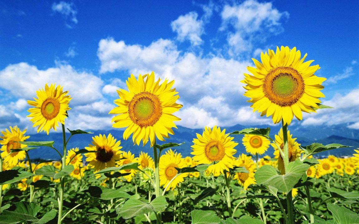 Hoa hướng dương tác dụng hạ huyết áp và giảm đau, chữa đau đầu