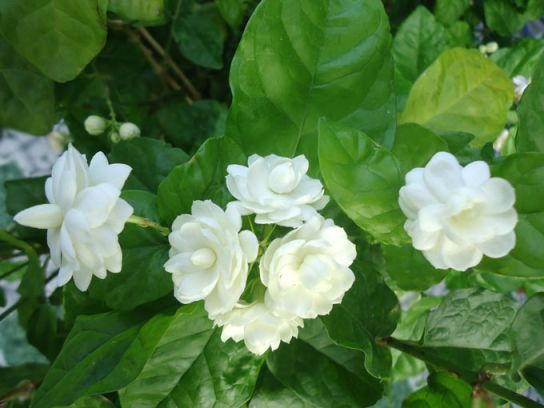Hoa nhài chữa ngoại cảm, phát sốt, đau bụng ỉa chảy