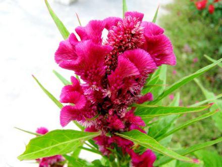 Hoa mào gà Tác dụng tiêu viêm, cầm máu, chữa mắt đau,