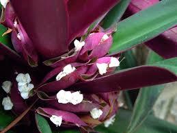 Hoa Sò Huyết làm thuốc chữa bệnh