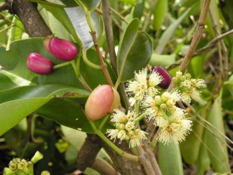 Hoa Vối có tác dụng chữa bệnh gì hiệu quả
