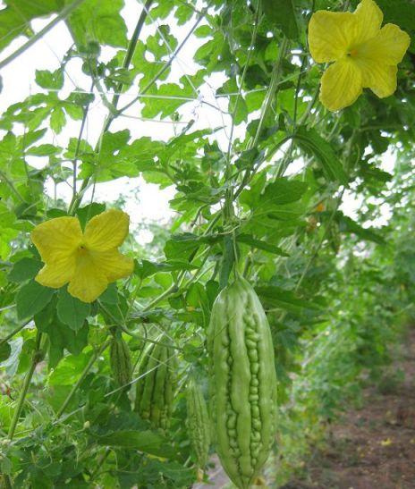 Hoa mướp đắng có hoa đực, hoa cái, màu vàng nhạt