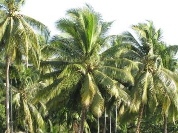 Cây dừa thân trụ to, cao 15-20m, thân nhẵn có nhiều vết sẹo to