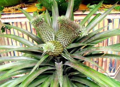 Tác dụng chữa bệnh của quả dừa