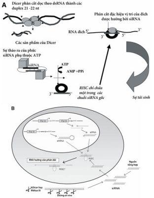 Cơ chế mRNA đích thoái hóa được hướng bởi siRNA trong các tế bào động vật có vú.