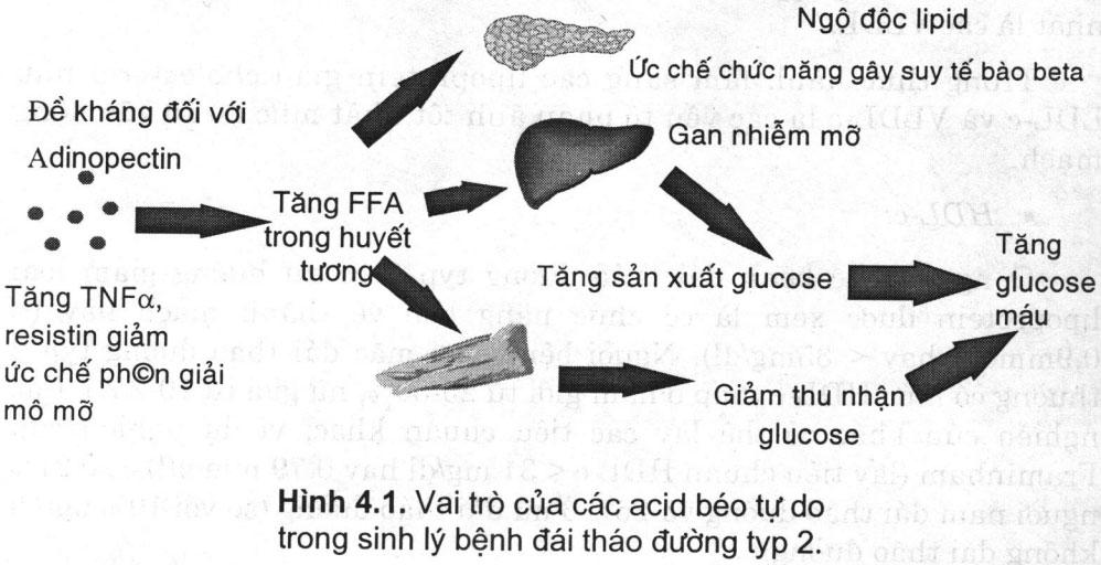 Vai trò của các acid béo tự do trong sinh lý bệnh đái tháo đường typ 2.