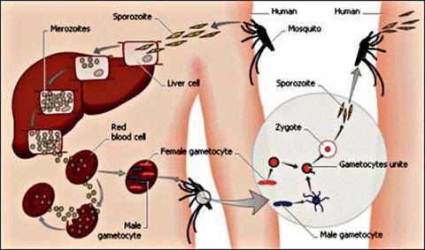 phương thức lây truyền bệnh sốt rét