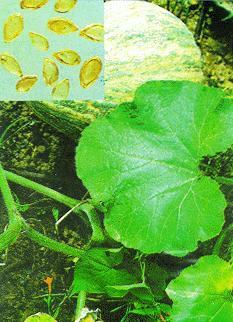 Cây Bí ngô-Bí thơm