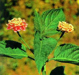 Bông ổi-Bông tai-Bông vải-Bông vàng-Bông vàng lá hẹp-Bông xanh