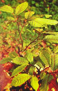 Bù dẻ-Bù dẻ hoa nhỏ-Bù dẻ lá lớn-Bù dẻ trườn