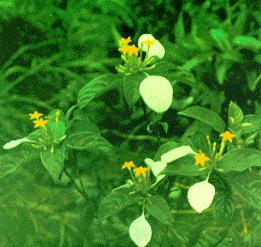 Cây Bướm bạc-Bướm bạc Campuchia-Bướm bạc lá-Bướm bạc quả nang