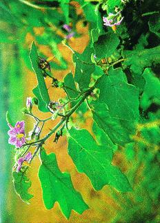 Cà dại hoa tím-Cà dại hoa trắng