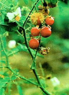 Cây Cà dại quả đỏ