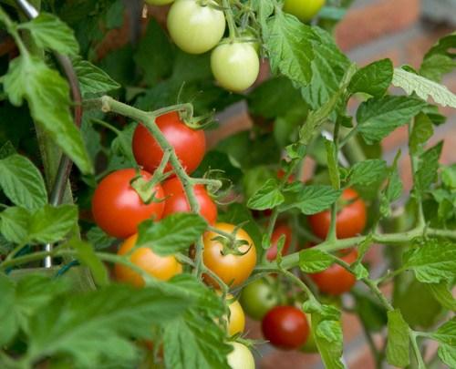 Cây cà chua thuộc loại thân thảo