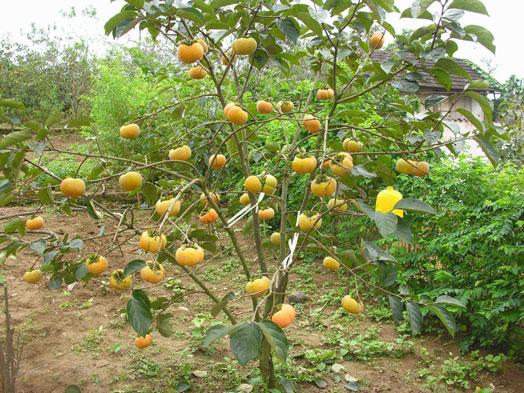 Tai Quả Hồng và quả Hồng – những tác dụng chữa bệnh diệu kỳ