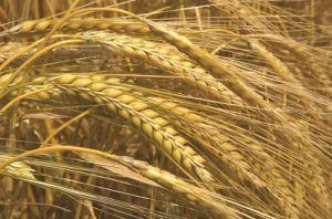 Cây lúa mạch thân thảo