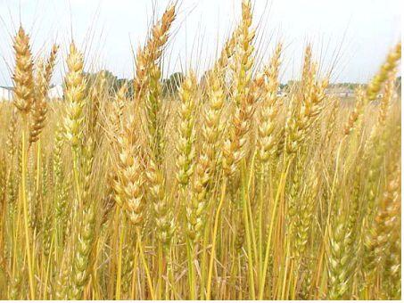 Hạt Lúa Mì (tiểu mạch) – Lợi ích với sức khỏe và chữa bệnh