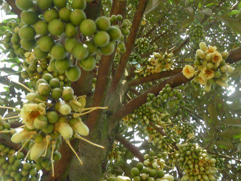 Cây sầu riêng thân gỗ to cao 10-15m