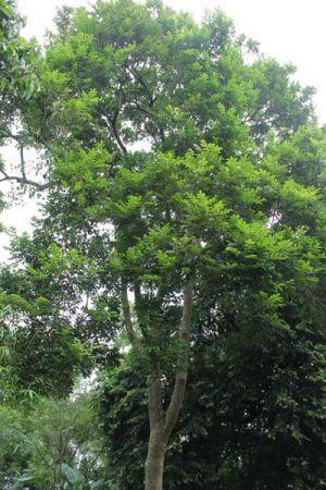 Cây trám thân gỗ to cao 8-10m