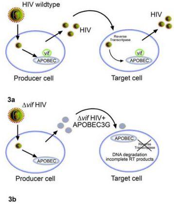 Nhiễm HIV-1 chủng hoang dại