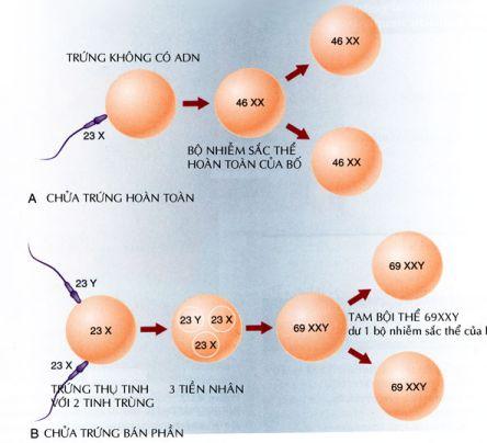 Cơ chế tạo thành chửa trứng