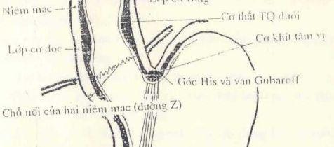 Các lớp cơ, đường Z và góc HIS thực quản