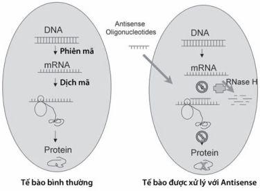 Antisense oligonucleotid sẽ bổ cứu với trình tự RNA đích