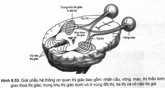 Ứng dụng của CT và MRI trong chẩn đoán các bệnh lý liên quan đến thị giác